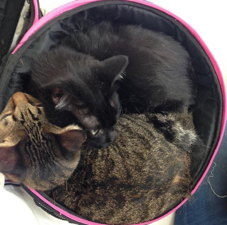 猫キャリーにぎゅう詰めの猫2匹
